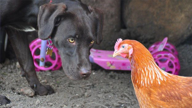 Can't we all just get along? Some dogs get along well with chickens, but many more do not.