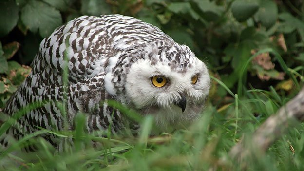 "Snowy Owls come south in unpredictable invasions called ""irruptions."""