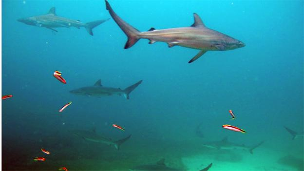 The large dusky shark has been designated as Vulnerable by the American Fisheries Society, and are often caught in the pursuit of similar species like mako sharks.
