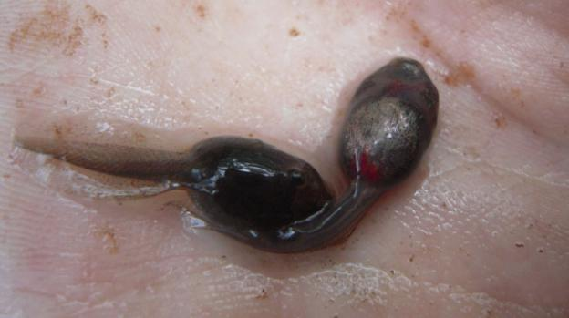 The hemmorhaging on the belly of these woodfrog tadpoles is a sign of Ranavirus infection.