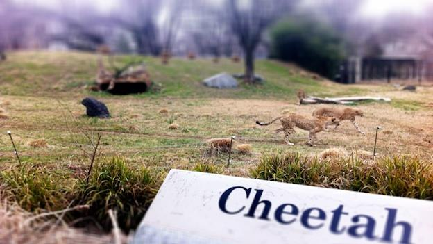 Cheetahs roaming outside at the National Zoo in Washington, D.C. on February 22, 2013.