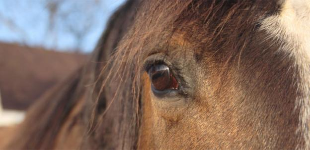 Vets at Virginia Tech say that horses make excellent proxies for research into treatments for asthma.