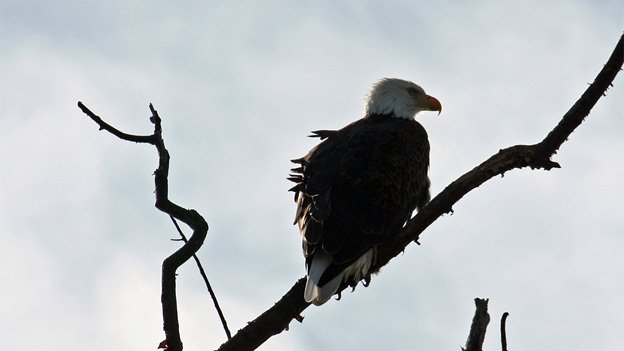 Bald eagles are no longer an endangered species, but unauthorized hunting of the birds is not allowed.