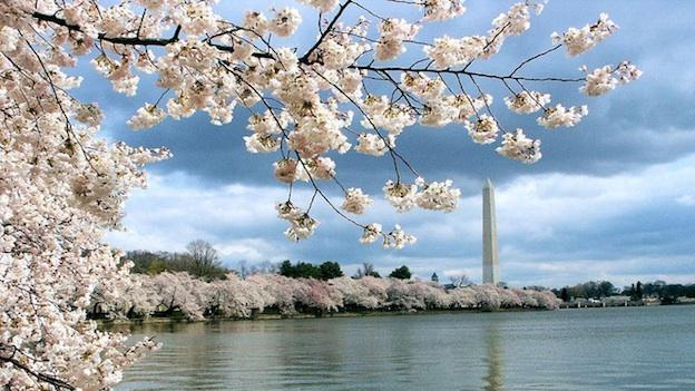 Park service officials say traffic changes around the Tidal Basin are being made earlier this year due to the cherry blossom's earlier bloom.