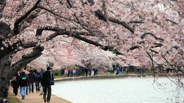 Tourists turn up in the hundreds of thousands for the District's iconic cherry blossoms.