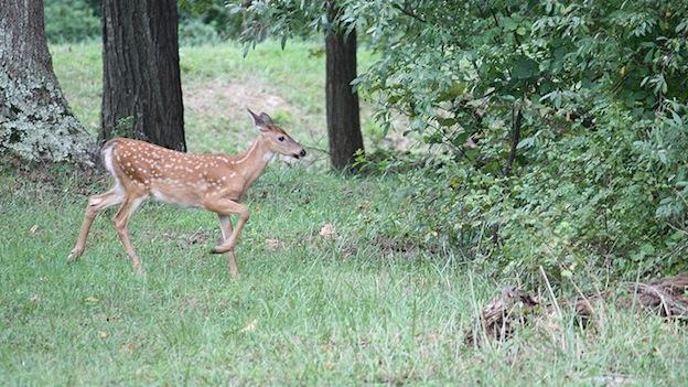 A white tailed fawn roams in the woods near Gunpowder, Md.