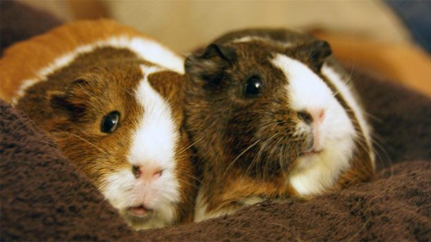 Guinea pigs are a pretty common culinary treat in some parts of the world.