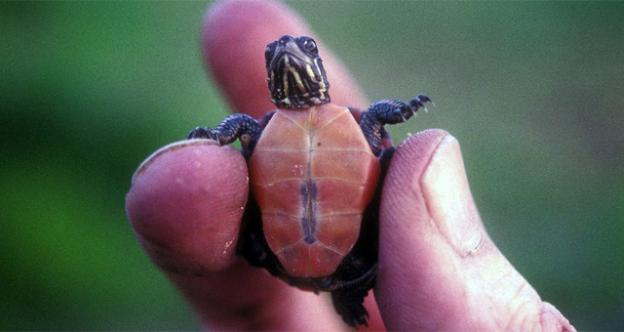 Baby turtles may be cute, but officials say they may be causing cases of salmonella in Maryland and elsewhere.