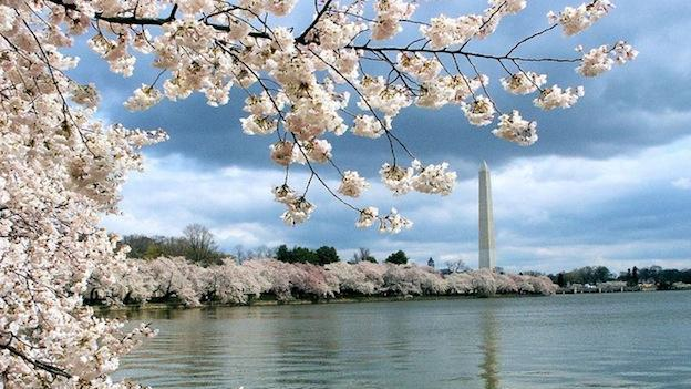 Cherry Blossoms shown along the Tidal Basin in Washington, D.C.