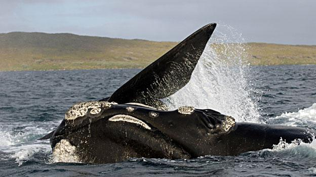 A southern right whale surfaces off the coast of New Zealand. Researchers are now hoping that a new iPad app will help ships avoid hitting the endangered species.