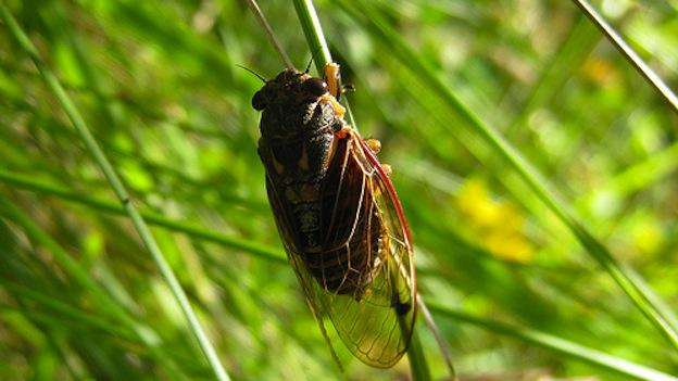 The cicadas are coming!
