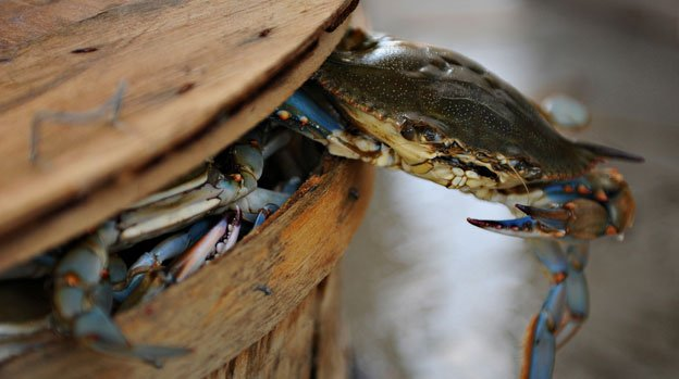 A Maryland Blue Crab tries to escape from its inevitable place on your bucket list.