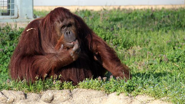 Residents of the National Zoo's Great Ape House have a particular predisposition towards honey.