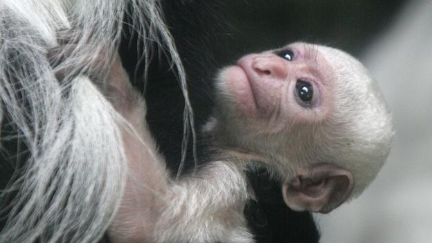 A baby black and white colobus, born March 8, 2006, clings to his mother's fur at the Central Park Zoo in New York.