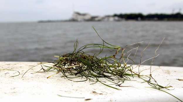 Widgeongrass has expanded into the saltier waters of the mid-Bay, a boon for aquatic life.