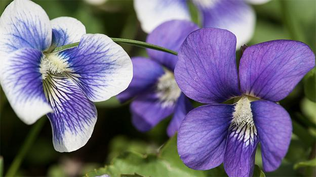 Violets are reported to have a taste similar to Spinach, for those who think to eat them.