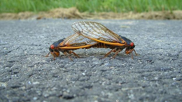 These Brood X Cicadas were mating on a road during the 2004 breeding season.