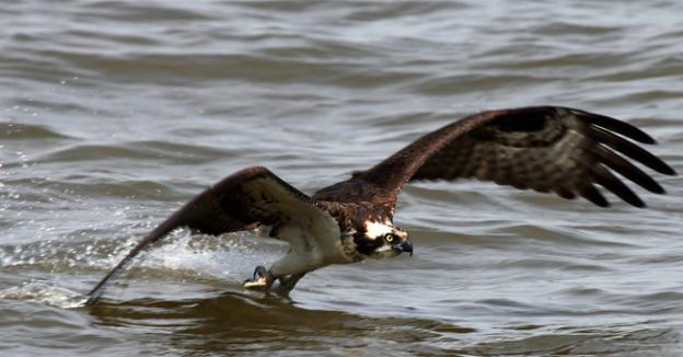 American Rivers is calling for Congress to take action before wildlife like the osprey can no longer live along the Potomac.