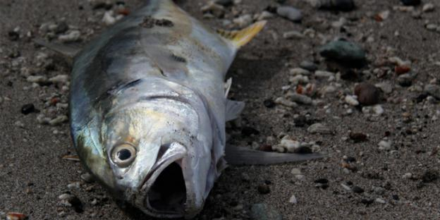 Fish can avoid dead zones, but they wreak havoc on the lower end of the food chain.