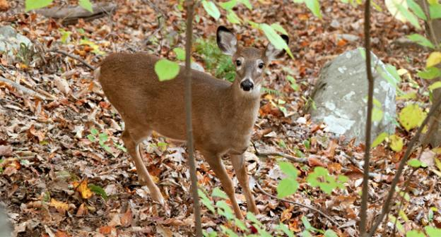 Rock Creek Park officials are working to reduce the white-tailed deer population.