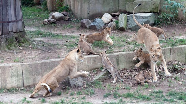 The four youngest members of the National Zoo lion pride were introduced to the public this week.
