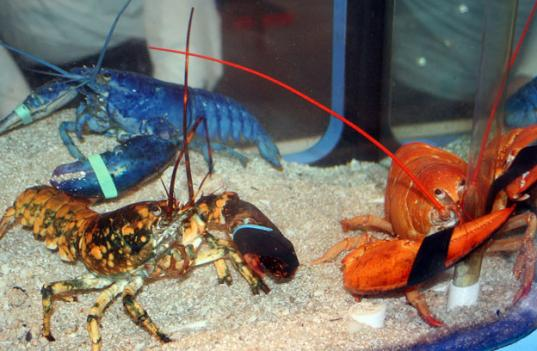 Examples of a blue, a calico, and a live red lobster at the Norwalk Maritime Aquarium in Norwalk, Conn. A fisherman caught a blue lobster off the coast of Ocean City, Md., last week, and it will soon be on display at the National Aquarium.