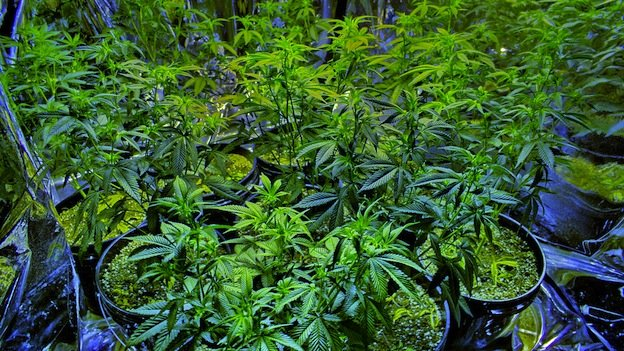 The marijuana legalization bill would allow for home cultivation.