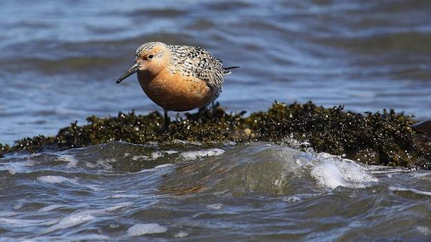 A Red Knot on the water in Pillar Point, Calif.