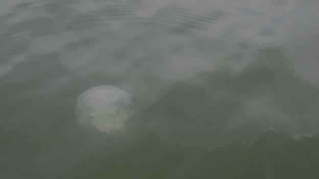 A jellyfish floats by in the Chesapeake Bay.