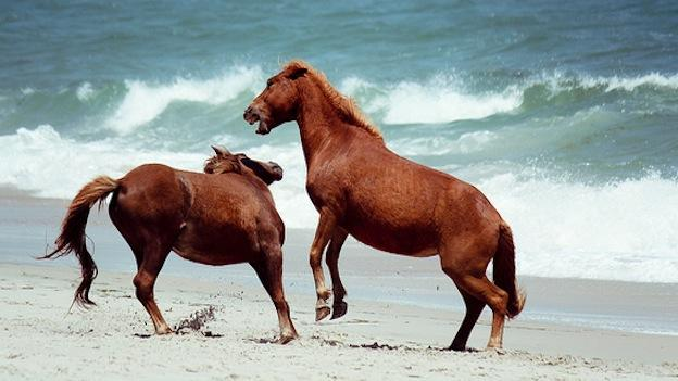 Two ponies horsing around on Assateague Island.