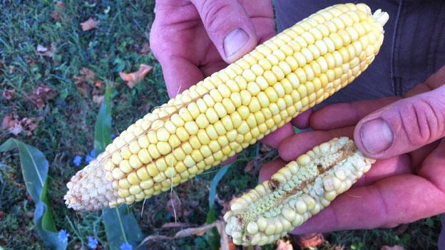 Ben Allmutt of Homestead Farm in Poolesville, Md., is reporting corn yields about 20 percent of normal levels.