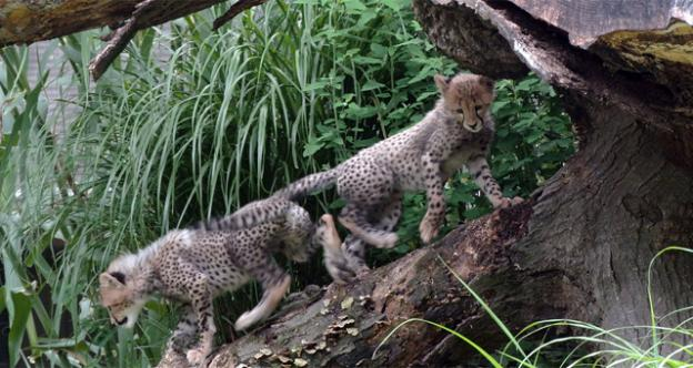 The National Zoo's two three-month-old cheetah will be named for the top American runners in this summer's Olympic Games.