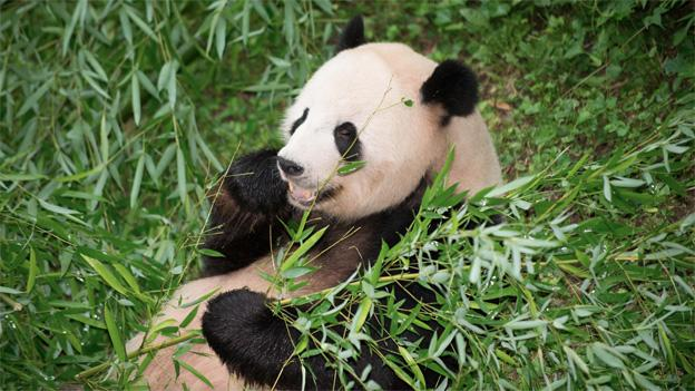 The panda house at the National Zoo has been closed as Mei Xiang may be pregnant.