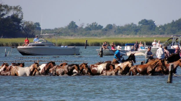 The ponies make their annual swim from Assateague Island over to Chincoteague Island.