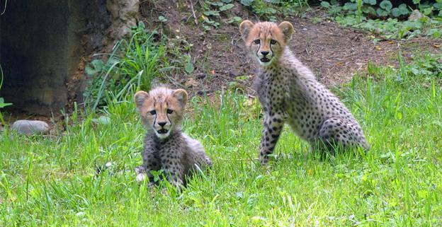 The National Zoo's cheetah cubs, now named for U.S. track stars Justin Gatlin and Camelita Jeter, explore their yard.