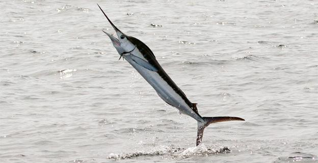 White marlin, like the one pictured here, have proved elusive for Ocean City anglers.