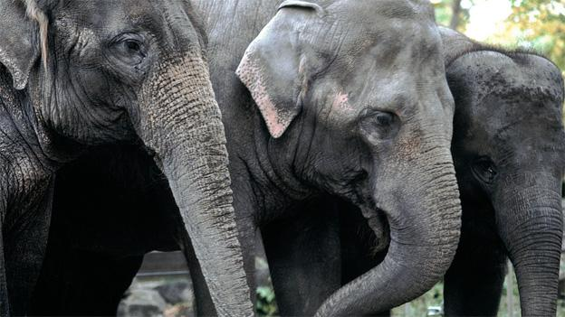 Kamala, left, Swarna, center, and Maharani, right, will join the National Zoo herd next year.