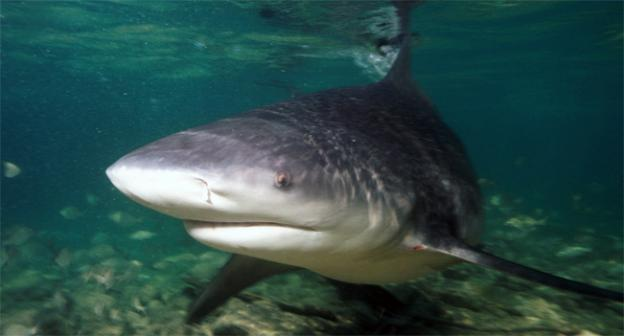 Large bull sharks have been known to make their way up the Potomac, as they can swim in shallow waters.