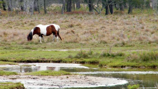 The wild ponies of Assateague Island are at risk from rising levels of seawater.