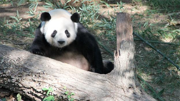 Tian Tian has been announced as the father of the female panda cub.
