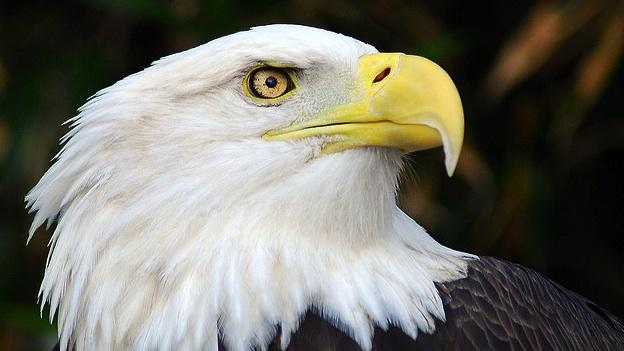 A large number of Bald Eagle nests have been destoyed due to Hurricane Irene.