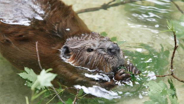 Fortunately, this beaver housed in the American Trail exhibit in the National Zoo is not at risk for rabies.