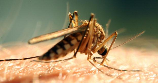 Mosquitoes have been delivering the West Nile Virus at a rate near record highs.