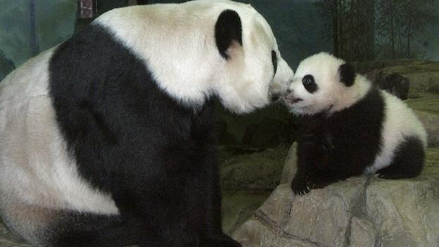 In this file photo released by Smithsonian's National Zoo 4-month-old giant panda cub Tai Shan nuzzles his mother Mei Xiang, following his 12th health exam, Monday, Nov. 21, 2005, at the National Zoo in Washington.