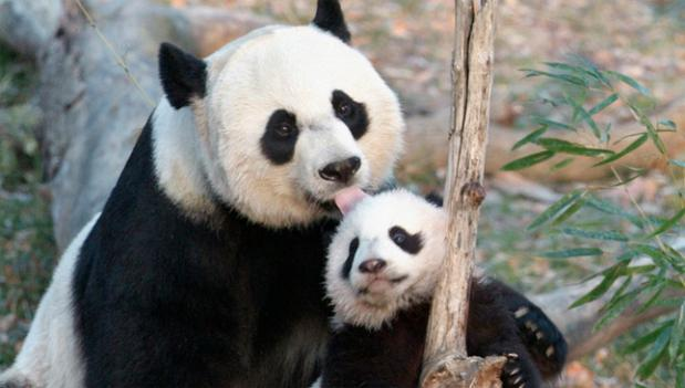 Mother panda Mei Xiang with Tai Shan, her first surviving cub, born in 2005. Only a few glimpses of her new cub have been spotted so far.