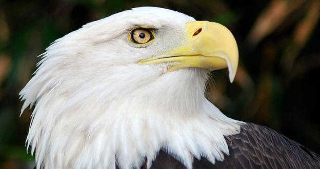 An adult bald eagle was found fatally shot several miles north of Cumberland, on Hazen Road along Evitts Creek.