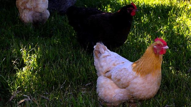 The billion-dollar poultry industry has been a cornerstone of business on the Eastern Shore for decades.
