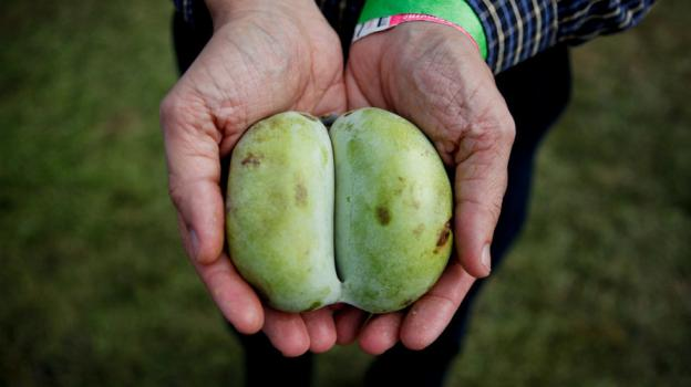 Pawpaws may look like mangos, but unlike other tropical fruits, they are native to North America.