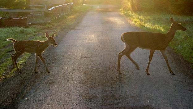 Two white-tail deer cross the road.