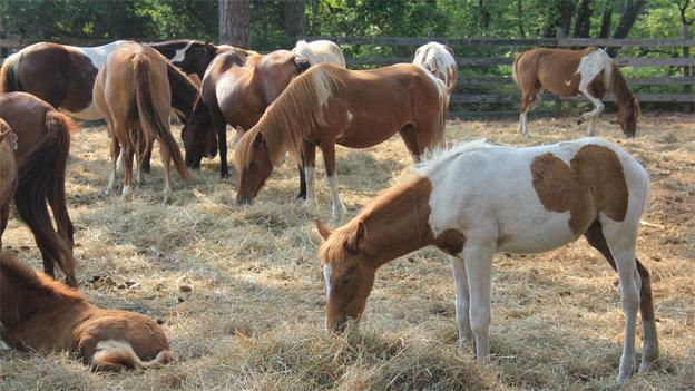 The ponies are rounded up twice a year in order to check up on their health and well-being.